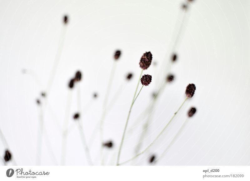 Zart Natur weiß grün Pflanze Gras Zufriedenheit braun Kraft elegant Umwelt Detailaufnahme ästhetisch stehen Sträucher außergewöhnlich Stolz