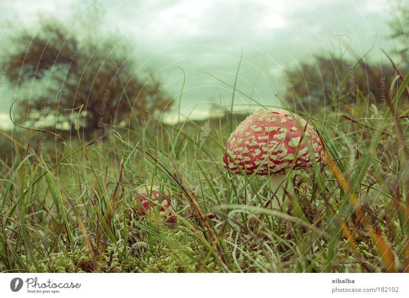 Inselpilz Natur Pflanze rot dunkel Tod Gras Landschaft Wind Sträucher bedrohlich Sturm Strahlung Pilz Gift Gewitterwolken Endzeitstimmung