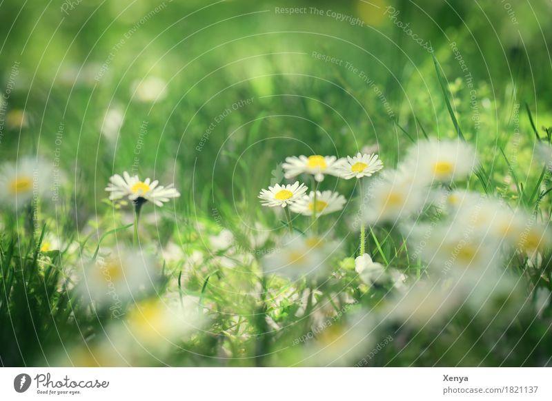 Gänseblümchen Umwelt Natur Pflanze Schönes Wetter Blume Blüte Garten Park Wiese Blühend Fröhlichkeit frisch braun gelb weiß Glück Zufriedenheit Frühlingsgefühle