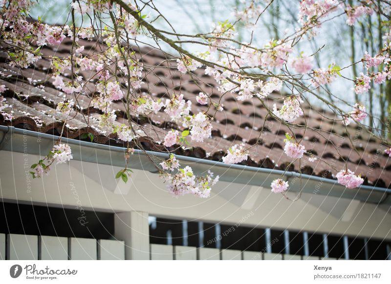 Blühender Baum vor Gebäude Pflanze Frühling Blüte Ast Mauer Wand Dach rosa Neuanfang Außenaufnahme Menschenleer Farbfoto Natur Tag Schönes Wetter Umwelt