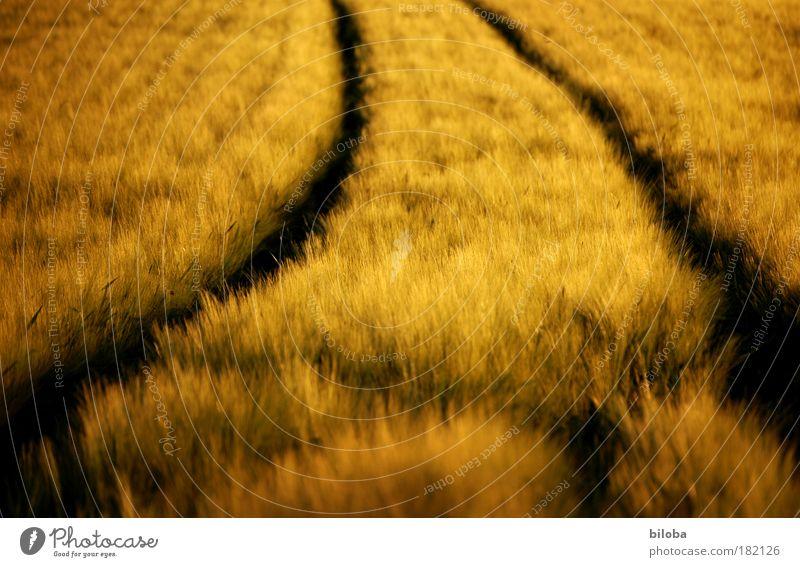 Getreidefeld im goldenen Abendlicht mit Traktorspuren Korn Kornfeld Umwelt Natur Pflanze Herbst Wärme Feld braun gelb schwarz Ernte Kurve Bogen