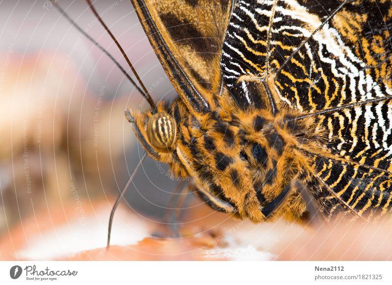 voll gestreift Natur Pflanze Tier Schmetterling 1 braun orange Muster Farbfoto Nahaufnahme Detailaufnahme Makroaufnahme Strukturen & Formen Menschenleer