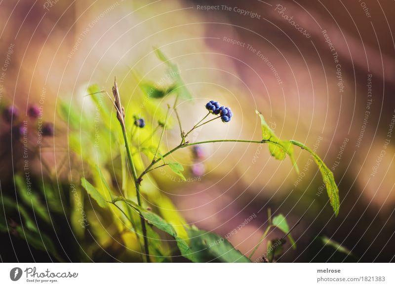 Brombeeren-Duo Natur Pflanze blau Stadt Sommer grün Sonne ruhig Wald Umwelt Blüte braun Frucht leuchten glänzend Wachstum