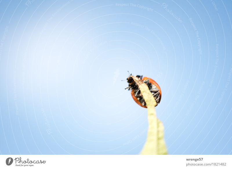 Spitzensportler Natur Luft Herbst Schönes Wetter Tier Wildtier Käfer Marienkäfer 1 krabbeln sportlich klein blau mehrfarbig grün rot schwarz Glück winzig Wicht