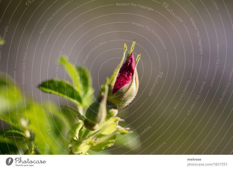 Knospe mit Wassertröpfchen elegant Stil Natur Wassertropfen Sonne Sommer Schönes Wetter Blume Blatt Blüte Wildpflanze Blütenknospen Pflanzenteile Rosengewächse