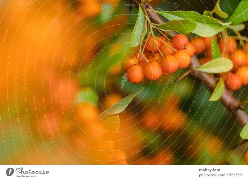 Herbstfarbtupfer Natur Pflanze grün Garten orange Jahreszeiten Beeren Botanik herbstlich stachelig Oktober Hecke Dorn markant feurig