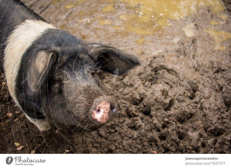 Sau Tier Zufriedenheit Erde dreckig Sauberkeit Landwirtschaft Wohlgefühl Bauernhof Fleisch Landwirt Schwein bequem Nutztier Schlamm Sau Schweinerei