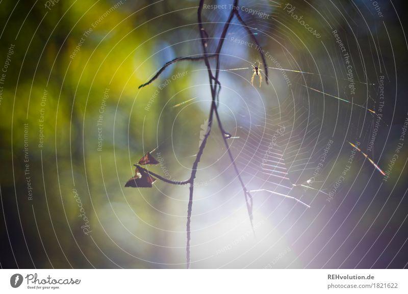 Spinne Umwelt Natur Tier Wald 1 natürlich grün Zweig Spinnennetz Farbfoto Außenaufnahme Detailaufnahme Tag Sonnenlicht Gegenlicht Unschärfe