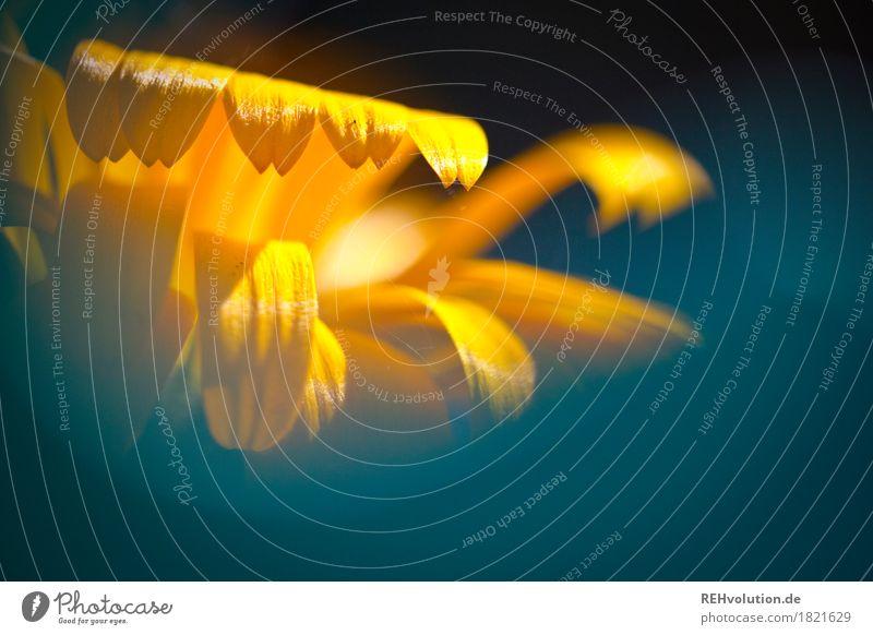 Blüte Umwelt Natur Pflanze Blume Blühend schön gelb Farbfoto Außenaufnahme Nahaufnahme Detailaufnahme Makroaufnahme Textfreiraum unten Tag Sonnenlicht Unschärfe