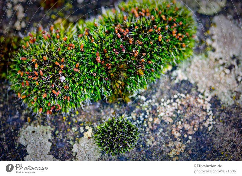 Moos Umwelt Natur Pflanze Grünpflanze Wachstum grün Hintergrundbild Farbfoto Außenaufnahme Nahaufnahme Detailaufnahme Makroaufnahme Textfreiraum rechts