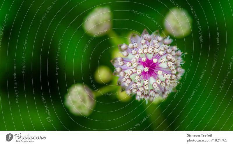 abstrakte Blumen Natur Frühling Pflanze Gras Blüte Allium Porree Garten Park Feld Blühend Duft verblüht frisch Gesundheit rund grün violett weiß Lebensfreude
