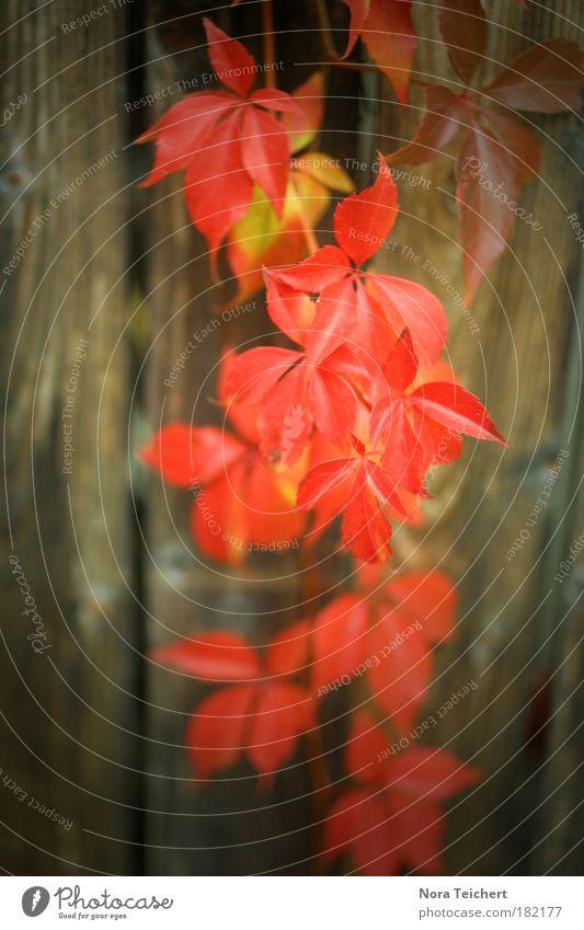Herbströte Natur schön alt Pflanze rot Blatt Tier Herbst Wand Holz träumen Mauer Park Landschaft Umwelt Fassade