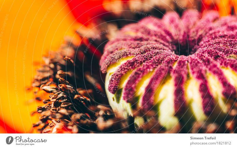 Mohnblüte Natur Pflanze Frühling Sommer Schönes Wetter Blüte Wildpflanze Mohnkapsel Blühend Duft leuchten verblüht ästhetisch rund braun orange rot