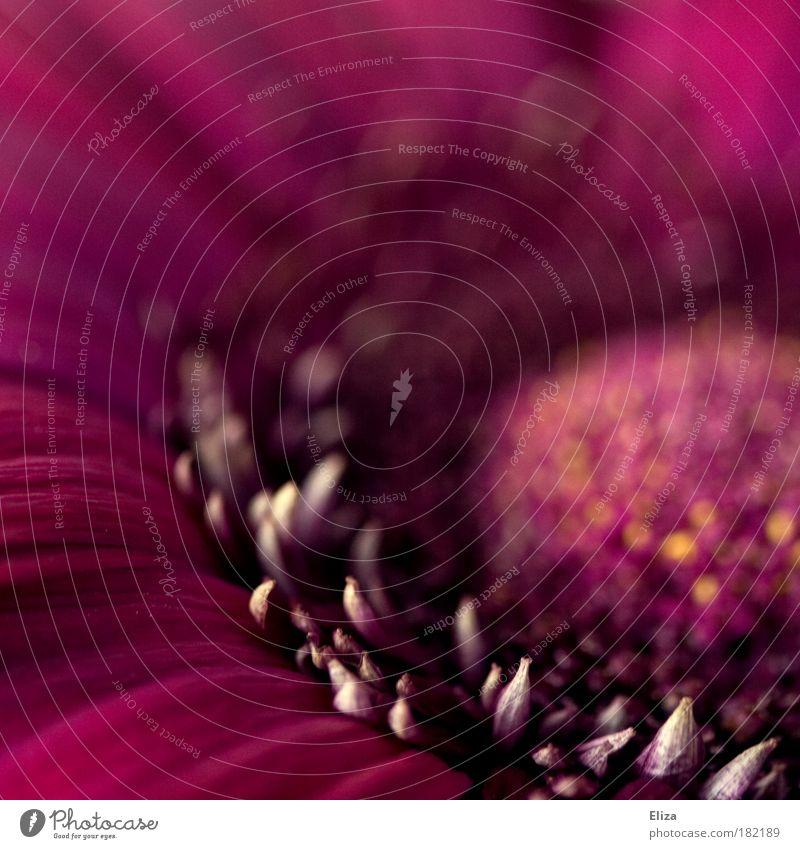 Blütenkarussel Blume Sommer Frühling rosa ästhetisch rund Makroaufnahme intensiv Lichtpunkt