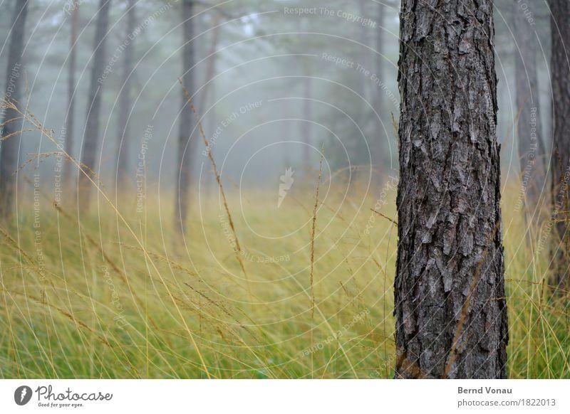 stamm Umwelt Natur Wald Gefühle Stimmung Herbst Nebel Gras grau Baumrinde Kiefer dick Kraft Wetter schlechtes Wetter Farbfoto Außenaufnahme Menschenleer