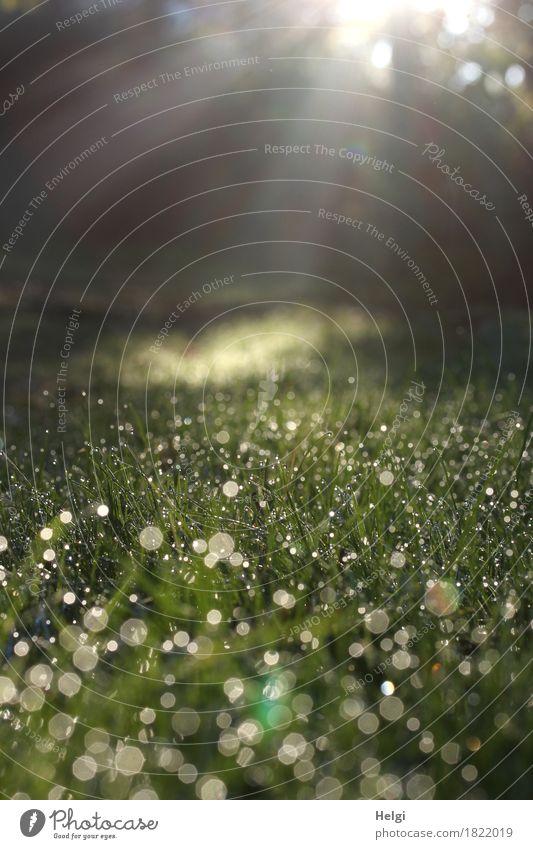 Morgensonne... Umwelt Natur Landschaft Pflanze Wassertropfen Herbst Schönes Wetter Nebel Gras glänzend leuchten Wachstum ästhetisch außergewöhnlich kalt nass