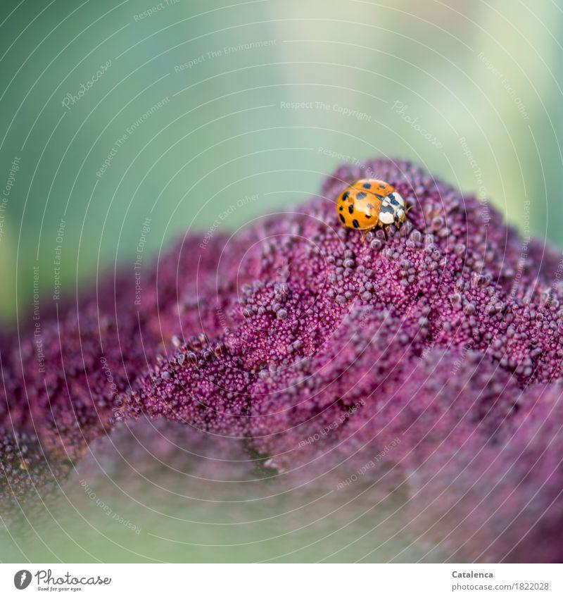 Auf Blattlaussuche Natur Pflanze grün Tier schwarz Umwelt Herbst Bewegung Gesundheit fliegen orange glänzend frisch Fröhlichkeit violett Umweltschutz