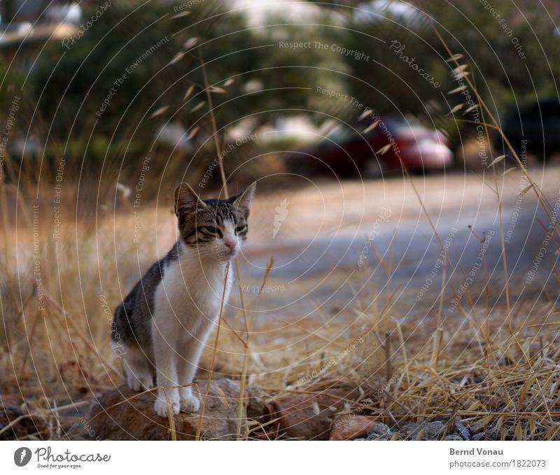 Kleiner Grieche Tier Katze 1 Tierjunges klein niedlich Streicheln Fell Katzenbaby Tigerkatze Sträucher sitzen warten Ferien & Urlaub & Reisen Farbfoto