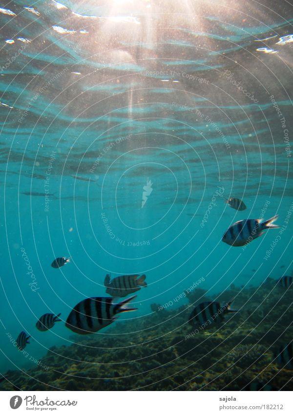 underwaterworld Umwelt Natur Tier Wasser Korallenriff Meer Redang Malaysia Asien Südostasien Wildtier Fisch Schuppen Tiergruppe Schwarm blau schwarz weiß Freude
