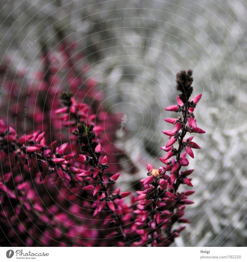 Erika Farbfoto mehrfarbig Außenaufnahme Detailaufnahme Menschenleer Textfreiraum rechts Textfreiraum oben Tag Natur Pflanze Herbst Blume Blüte