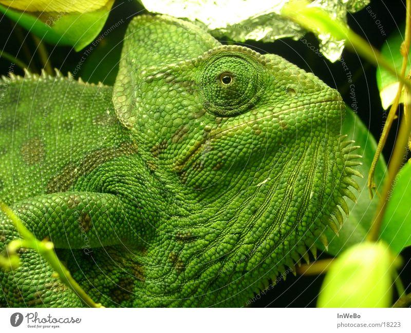 Chameleo Calyptratus Reptil Chamäleon grün Nahaufnahme Auge