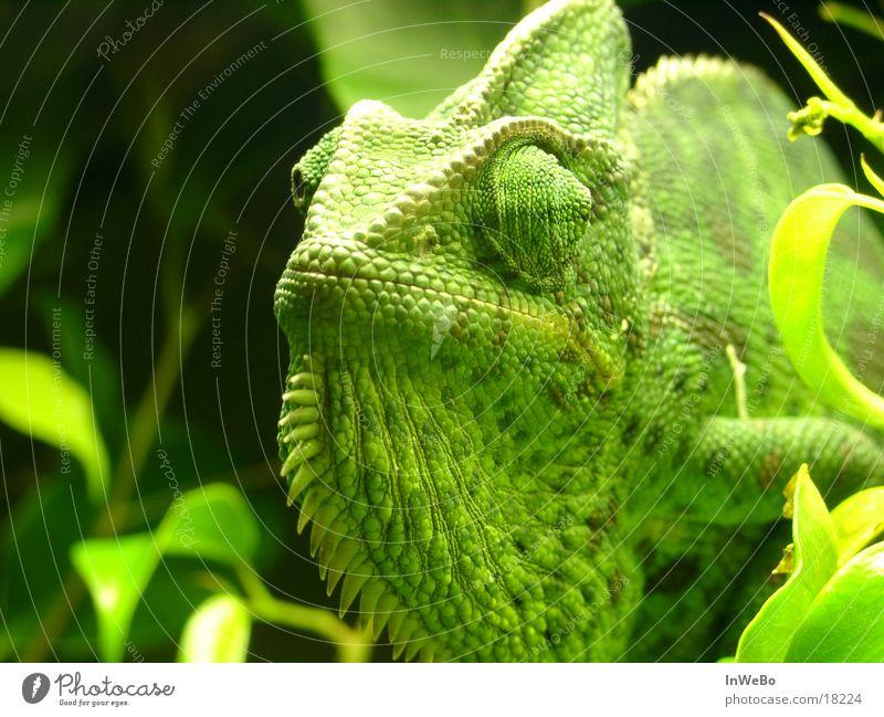 Chameleon Jemen Reptil grün Blatt Calyptratus Nahaufnahme