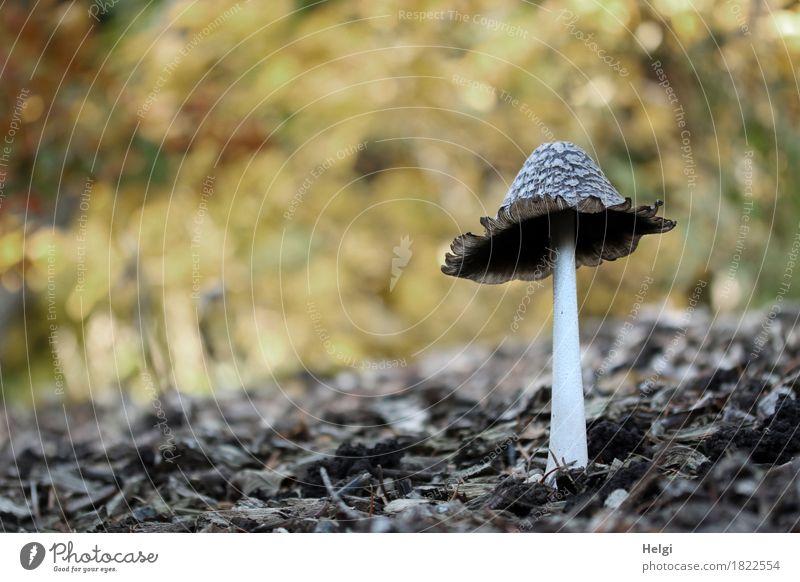 Coprinus comatus... Umwelt Natur Herbst Schönes Wetter Park stehen Wachstum authentisch außergewöhnlich einzigartig klein natürlich braun gelb grau weiß