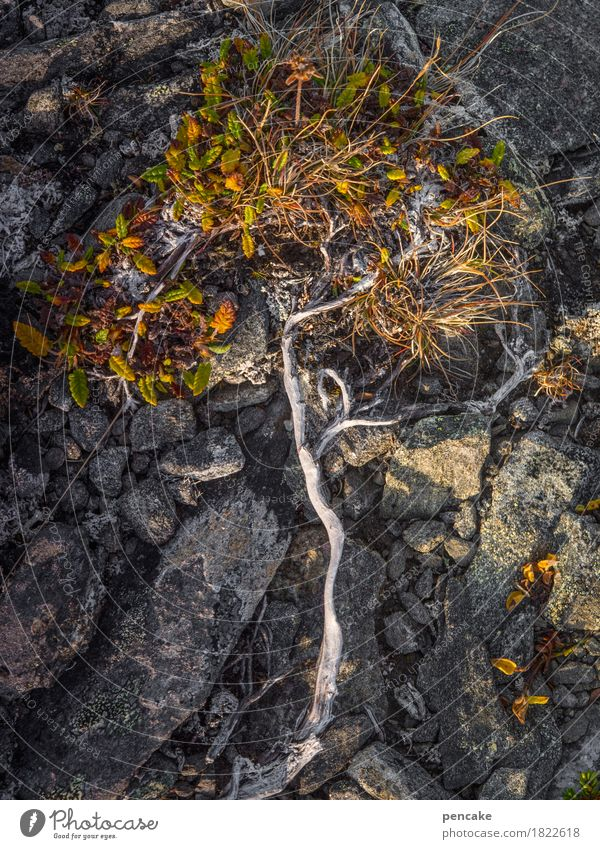 lebensbäumchen Natur Pflanze Baum Herbst Felsen Erde ästhetisch Urelemente trocken stark Moos nordisch Wurzel Überleben Herbstfärbung Flechten