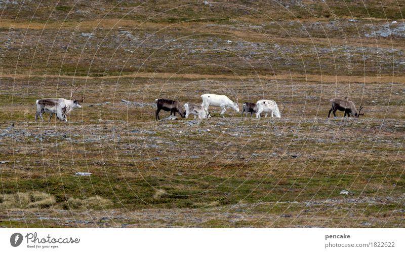 genügsam Natur Weihnachten & Advent weiß Landschaft Herbst braun Erde wandern Wildtier Tiergruppe Urelemente Moos Weihnachtsmann Fressen Norwegen Flechten