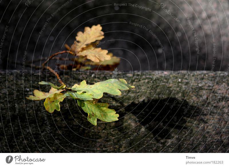 Übergang Natur alt Baum Pflanze ruhig Blatt Einsamkeit dunkel Herbst Tod Traurigkeit Mauer Eiche Trauer Schatten Ende