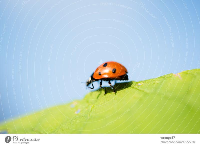 Gratwanderung Natur Sommer Herbst Tier Nutztier Wildtier Käfer Marienkäfer Insekt 1 Glück Glücksbringer krabbeln laufen klein blau grün rot schwarz winzig