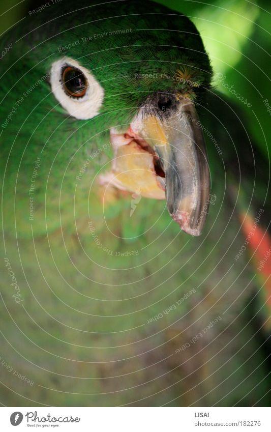 rokko alt weiß grün rot Tier gelb grau sitzen Tiergesicht Feder Flügel beobachten natürlich entdecken Wildtier Haustier