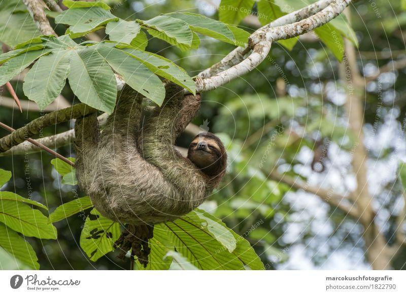 Faultier in Costa Rica 1 Natur Pflanze Baum Erholung Blatt Tier Glück leuchten träumen Fröhlichkeit genießen Schönes Wetter niedlich Freundlichkeit festhalten