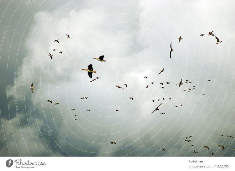 Himmelgewimmel Umwelt Natur Tier Wolken Gewitterwolken Herbst schlechtes Wetter Wildtier Vogel Flügel Schwarm dunkel Ferne frei natürlich grau Gans Wildgans