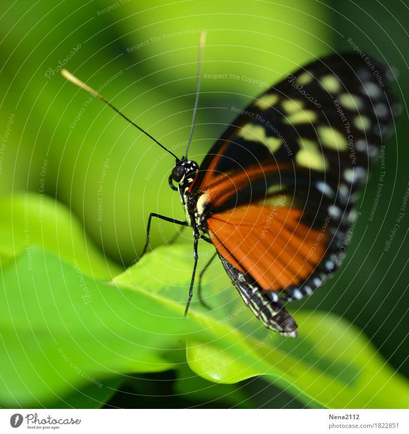 Back to the roots Umwelt Natur Tier Frühling Sommer Pflanze Blatt Garten Park Schmetterling 1 grün orange einzeln schmollen Flügel Fühler zerbrechlich exotisch