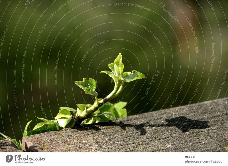 f eu Farbfoto Außenaufnahme Textfreiraum rechts Textfreiraum oben Schatten Sonnenlicht Unschärfe Pflanze Frühling Schönes Wetter Efeu Blatt Grünpflanze Mauer