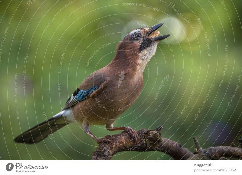 Eichelhäher Umwelt Natur Tier Schönes Wetter Pflanze Baum Garten Park Wiese Wald Wildtier Vogel Tiergesicht Flügel 1 beobachten Fressen füttern sitzen