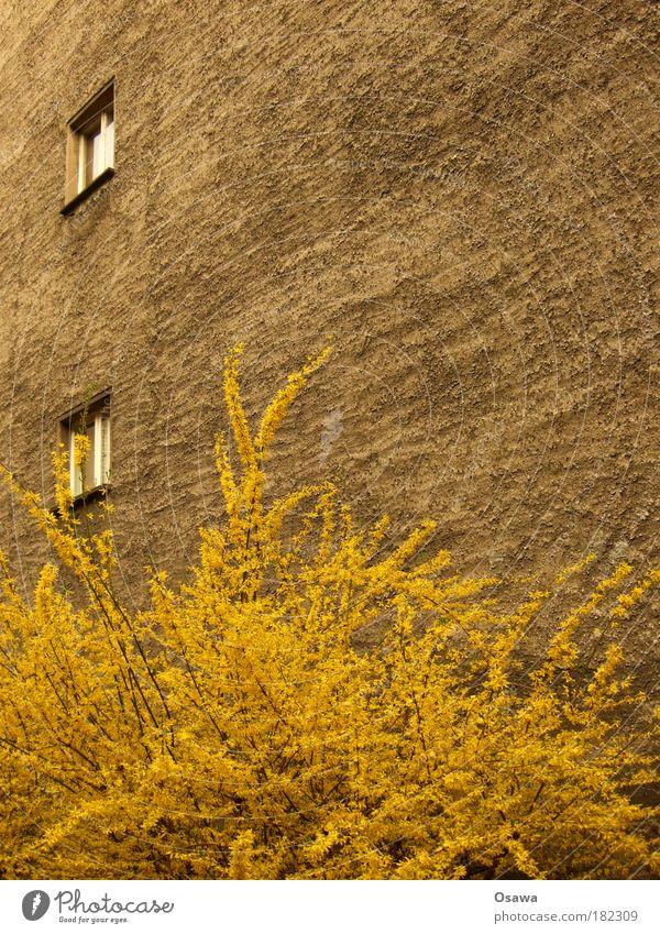 Urbaner Frühling Mauer Brandmauer Haus Gebäude Putz Wand Fenster 2 Sträucher Pflanze Blüte gelb Zweig Stadt Jahreszeiten Blühend austreiben Textfreiraum