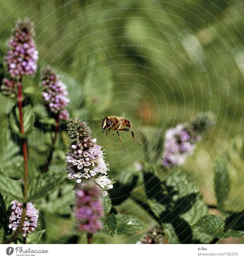 und es war Sommer Natur grün Pflanze Tier Gefühle Park Landschaft Umwelt fliegen frei violett Flügel natürlich Fell Biene Wildtier