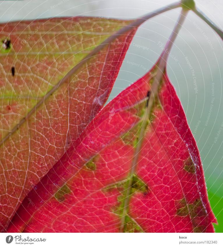two of us Farbfoto mehrfarbig Außenaufnahme Detailaufnahme Makroaufnahme Menschenleer Tag Schwache Tiefenschärfe Natur Pflanze Herbst Baum Blatt hängen braun