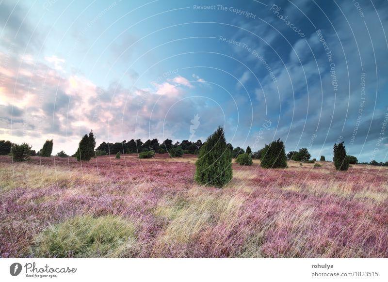 Rosa blühender Heiden bei Sonnenuntergang, Wilsede, Deutschland Himmel Natur blau Sommer Baum Blume Landschaft Wolken Blüte rosa Aussicht Blühend Hügel