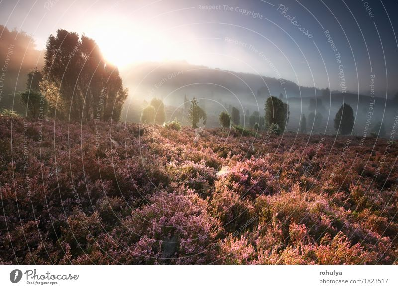 nebeliger Sonnenaufgang über Hügeln mit blühendem Heidekraut Himmel Natur Ferien & Urlaub & Reisen Sommer Baum Blume Landschaft Wald Wiese Deutschland rosa