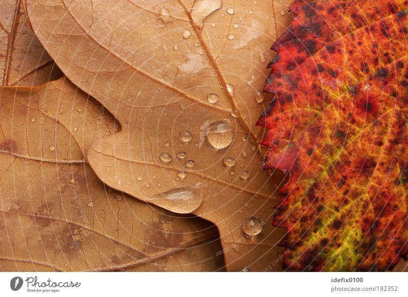 Herbstlaub Farbfoto mehrfarbig Außenaufnahme Nahaufnahme Detailaufnahme Makroaufnahme Menschenleer Textfreiraum links Textfreiraum rechts Natur Wassertropfen