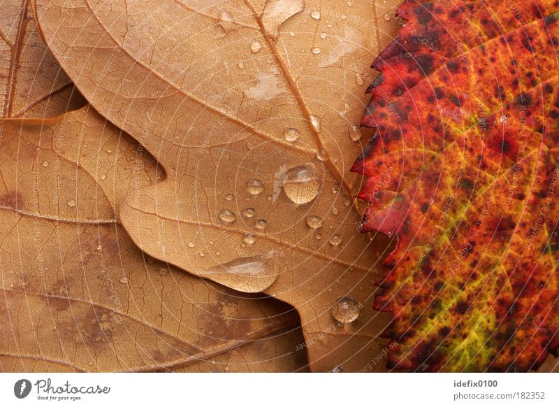 Herbstlaub Natur rot Blatt gelb Herbst Regen braun Wassertropfen Makroaufnahme schlechtes Wetter