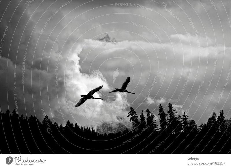 Fernweh Natur Ferien & Urlaub & Reisen Wolken Ferne Wald kalt Freiheit fliegen Vogel Stimmung Zusammensein Freundschaft Luftverkehr Tierpaar bedrohlich Abenteuer