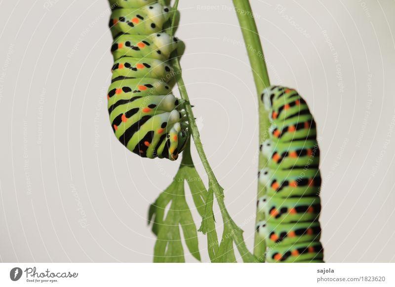 rüebliraupe - pas de deux Natur Tier Wildtier Schmetterling Raupe 2 festhalten Fressen ästhetisch grün orange schwarz Muster Tarnung Metamorphose gepunktet