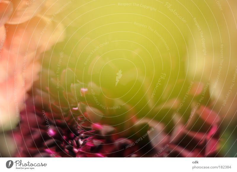 Nostalgie Natur Pflanze schön rot Blüte Herbst Gefühle natürlich rosa authentisch retro Romantik Duft Treue Dahlien Blume