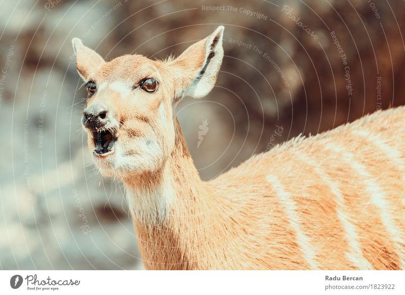 Sitatunga oder Marshbuck (Tragelaphus spekii) Antilope in Afrika Natur Tier Gras Park Wald Wildtier Tiergesicht 1 Freundlichkeit natürlich niedlich wild braun