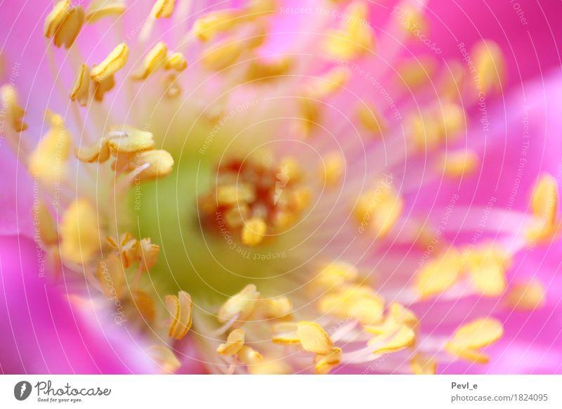 im Zentrum Natur Pflanze Blume ruhig gelb Blüte Frühling Glück Garten rosa Zufriedenheit Wachstum elegant ästhetisch Blühend Romantik