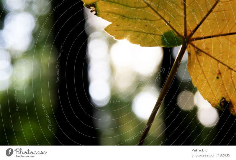 der Herbst is da! Farbfoto Außenaufnahme Makroaufnahme Muster Kontrast Schwache Tiefenschärfe Baum Blatt fallen dünn gelb grün Einsamkeit Vergänglichkeit